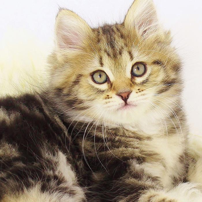 Druzhina Siberian Cat Breeder